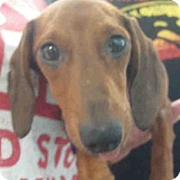 Dachshund Dog for adoption in Humble, Texas - Blessing