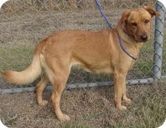 Golden Retriever Mix Dog for adoption in Olive Branch, Mississippi - Grace