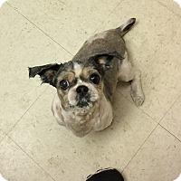 Adopt A Pet :: Suga - Tavares, FL