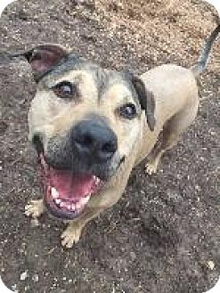 Pit Bull Terrier Mix Dog for adoption in Louisville, Kentucky - Niko