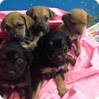 Adopt A Pet :: Shepard girls - Pompton Lakes, NJ