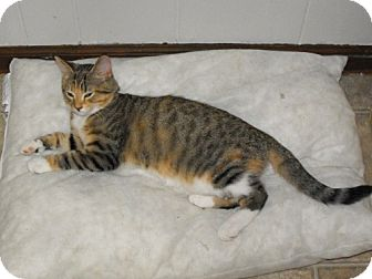 Domestic Shorthair Kitten for adoption in Grand Rapids, Michigan - Jo