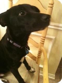 Labrador Retriever/Border Collie Mix Puppy for adoption in Austin, Texas - Socks