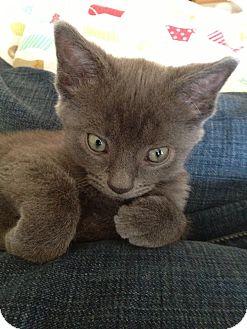 Domestic Shorthair Kitten for adoption in Homewood, Alabama - Copy