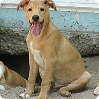 Adopt A Pet :: HUGO - Austin, TX