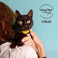 Adopt A Pet :: Velvet - Pearland, TX
