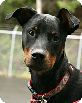 doberman bulldog mix bane adopted dog bellingham wa doberman pinscher