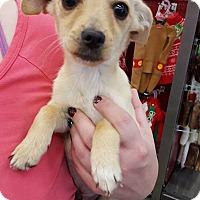 Chihuahua Mix Dog for adoption in Fresno, California - Eggnog