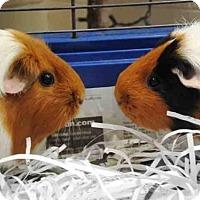 Adopt A Pet :: PEYTON - Anchorage, AK
