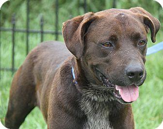 Labrador Retriever/German Shorthaired Pointer Mix Dog for adoption in Marietta, Ohio - Hunter (Neutered)