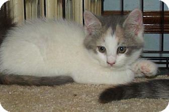 Domestic Shorthair Kitten for adoption in Acme, Pennsylvania - OPAL