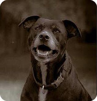 Labrador Retriever/Husky Mix Dog for adoption in Nashville, Tennessee - Mahoney