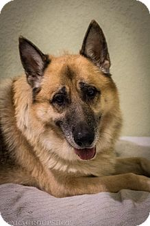 German Shepherd Dog Mix Dog for adoption in Phoenix, Arizona - King (Halo)