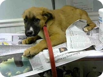 Labrador Retriever Puppy for adoption in Atlanta, Georgia - BROWNIE