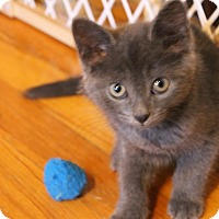 Domestic Shorthair Kitten for adoption in Rochester Hills, Michigan - Doli