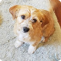 Terrier (Unknown Type, Medium) Mix Puppy for adoption in Burlingame, California - Bobby