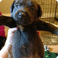 Labrador Retriever Mix Puppy for adoption in Wenonah, New Jersey - Marlee litter girl 3