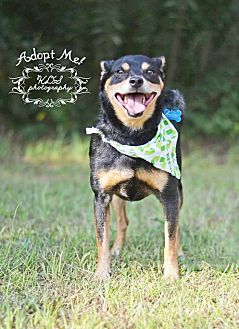Manchester Terrier Mix Dog for adoption in Fort Valley, Georgia - Ziggy