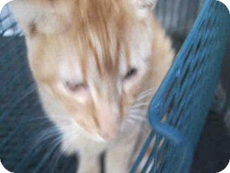 Domestic Mediumhair Cat for adoption in San Antonio, Texas - OSCAR