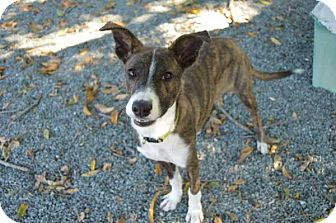 Whippet/Terrier (Unknown Type, Small) Mix Dog for adoption in Mebane, North Carolina - Kobe