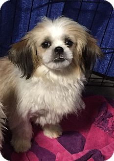 Shih Tzu Puppy for adoption in Overland Park, Kansas - Donner