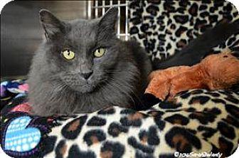 Domestic Longhair Cat for adoption in Sherwood, Oregon - Mr. Incredible