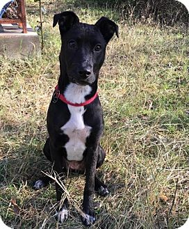 American Staffordshire Terrier Mix Dog for adoption in San Antonio, Texas - 394458 Lucy