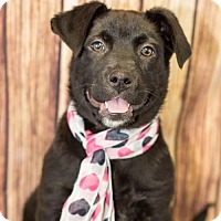 Adopt A Pet :: Phoebe - Fayetteville, AR