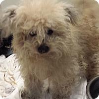 Adopt A Pet :: Bom - Westminster, CA