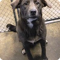 Adopt A Pet :: Pax - Redding, CA