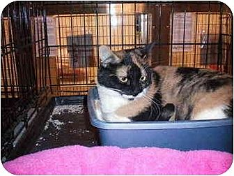 Calico Cat for adoption in Chino, California - Theresa