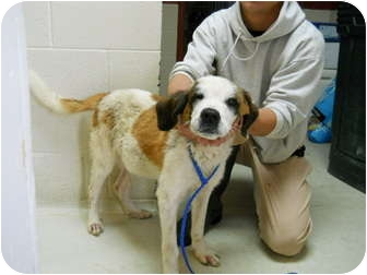 St. Bernard Puppy for adoption in Wayne, New Jersey - MOOSE