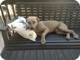 American Bulldog/Terrier (Unknown Type, Medium) Mix Dog for adoption in Miami, Florida - Darwin