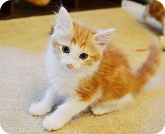 Domestic Longhair Kitten for adoption in Arlington/Ft Worth, Texas - Sweetie