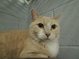 Domestic Shorthair Cat for adoption in House Springs, Missouri - Franny