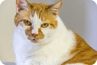 Domestic Shorthair Cat for adoption in Chesapeake, Virginia - Josie