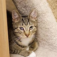 Bengal Cat for adoption in Island Park, New York - Honey