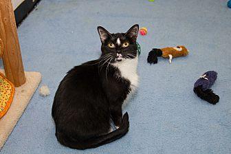 Domestic Shorthair Cat for adoption in Chicago, Illinois - Whitesocks