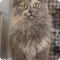Adopt A Pet :: Felicity - Merrifield, VA