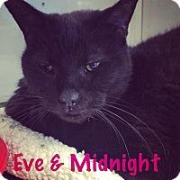 Domestic Shorthair Cat for adoption in La Grange Park, Illinois - Midnight