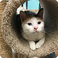 Adopt A Pet :: Duchess - Northbrook, IL