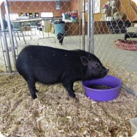 Pig (Potbellied) for adoption in Woodstock, Illinois - Pinkie