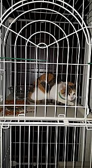 Calico Cat for adoption in Albemarle, North Carolina - Sarah Polk