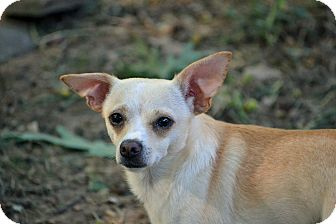 Chihuahua Mix Dog for adoption in Staunton, Virginia - Theodore Franklin