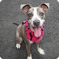 Adopt A Pet :: Halsey/Breezy - Manhattan, NY