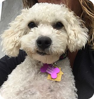 Poodle (Miniature) Dog for adoption in Mission Viejo, California - Poppy