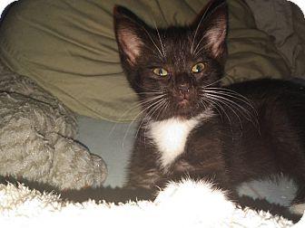 Domestic Shorthair Kitten for adoption in Whitehall, Pennsylvania - Flora