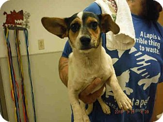 Jack Russell Terrier/Dachshund Mix Dog for adoption in Oroville, California - A570928
