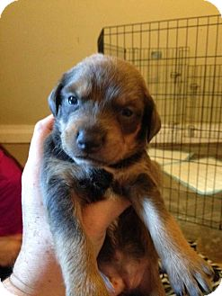 Labrador Retriever Mix Puppy for adoption in Wenonah, New Jersey - Marlee litter girl 4