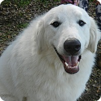 Great Pyrenees Dog for adoption in Granite Bay, California - BAILEY